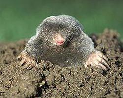 moles in lawns