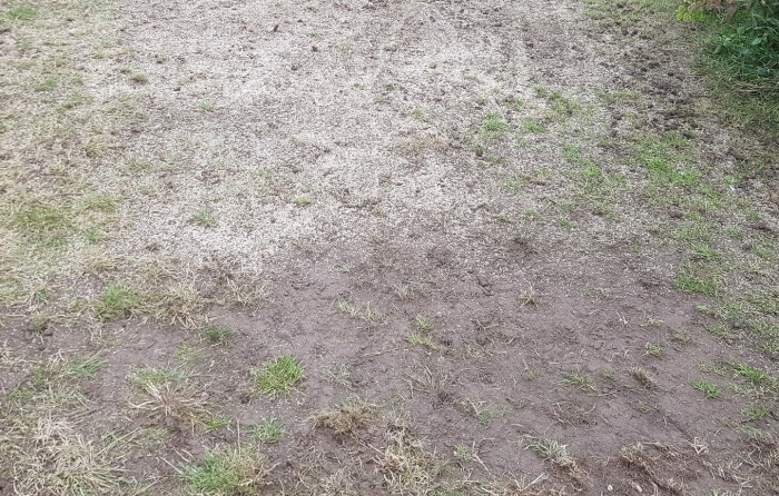how long to water overseeded lawn